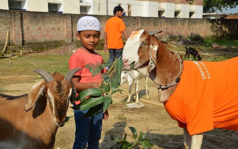 Child feeds Goat